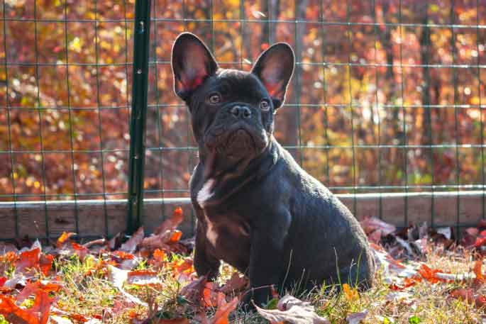 is french bulldog a good pet